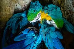 Lovés au creux d'un arbre (michelgroleau) Tags: parrot perroquet hara couleur plume oiseau bird blue bleu jaune yellow endormi sleep sleeping plumage