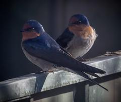 Welcome Swallows (njohn209) Tags: birds d500 nikon nz
