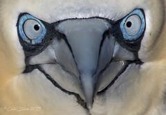 Gannet, Troup Head (colskiguitar) Tags: gannet gannets rspb trouphead birds seabirds pennan scotland wildbirds wildfowl closeup canon canoneos80d