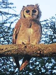 Verreaux's Eagle-Owl Bubo lacteus (nik.borrow) Tags: bird owl ndutu