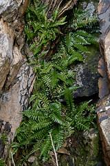 Asplenium marinum (Sea Spleenwort) (Hugh Knott) Tags: aspleniummarinum seaspleenwort flora ferns anglesey wales uk macro