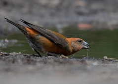 Common Crossbill (Explored) (muppet1970) Tags: crossbill commonncrossbill bird suffolk water puddle