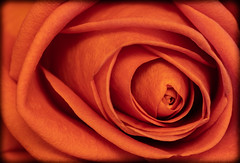 The Rose. (CWhatPhotos) Tags: cwhatphotos photographs photograph pics pictures pic picture image images foto fotos photography that have which with contain flickr rose flower closeup macro nature color colors colour pink queen olympus omd em1 60mm mzuiko prime lens