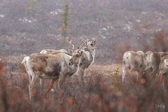 Spring Caribou (Dan King Alaskan Photography) Tags: caribou rangifertarandus wildlife protectwildlife preservewilderness predator spring denalinationalpark alaska canon80d sigma150600mm