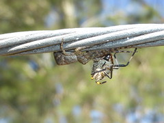 Crab spider with prey (tessab101) Tags: spider spiders arachnid arthropods blue mountains nsw australia crab flower tmarus with prey macro