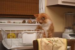 I'm not sure what Jimmy was looking at... (rootcrop54) Tags: jimmy orange ginger striped tabby male kitchen counter dishdrainer leopard neko macska kedi 猫 kočka kissa γάτα köttur kucing gatto 고양이 kaķis katė katt katze katzen kot кошка mačka gatos maček kitteh chat ネコ