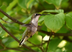 2017-07-29 (tsegat1) Tags: hggt cmwdgreen colorfulworldgreen hummingbird hww
