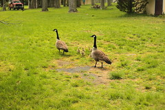 Newly hatched geese