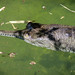 Gharial Closeup in Water