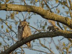 Bravery or Suicide? (Estrada77) Tags: greathornedowl squirrel raptors birdsofprey distinguishedraptors mammals furrycreatures