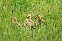 IMG_2150 (TMM Cotter) Tags: canada goose branta canadensis bird swan lake nature sanctuary victoria bc goslings