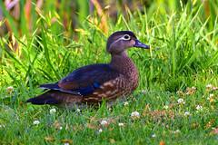 Wood-Duck_Female_01 (DonBantumPhotography.com) Tags: wildlife nature animals birds femalewoodduck ducks woodduck donbantumphotographycom donbantumcom