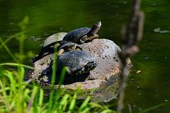 Turtles_02 (DonBantumPhotography.com) Tags: wildlife nature reptiles turtles donbantumphotographycom donbantumcom