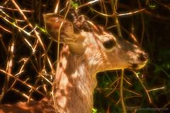 Deer_Buck_01 (DonBantumPhotography.com) Tags: wildlife nature animals deer fawn buck donbantumphotographycom donbantumcom
