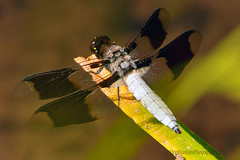 Common-Whitetail_Dragonfly_01 (DonBantumPhotography.com) Tags: wildlife nature animals insects commonwhitetaildragonfly donbantumphotographycom donbantumcom