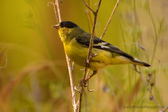 American_Gold_Finch_01 (DonBantumPhotography.com) Tags: wildlife nature animals birds finch americangoldfinch donbantumphotographycom donbantumcom