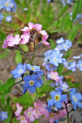pink & blue :) (green_lover (I wait for your COMMENTS!)) Tags: forgetmenot flowers wildflowers plants nature pink blue spring