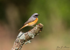 Redstart 2 ( Explored ) (ian._harris) Tags: nikon d7200 tamrong2 150600mm wilde nature wildlife animals naturephotography natur life flickr outside naturaleza redstart