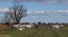 Paysage de Camargue (Bouches du Rhône - 10 février 2019) (Carnets d'un observateur de la nature du Sud de la) Tags: cheval camarguais bouchesdurhône camargue nature biodiversité