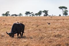 Buffalo with passengers (olafrudiger) Tags: africa buffalo wildlife landscape grasslands savannah