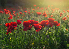 "Poppies: #6. ""An invaluable treasure"" (Emykla) Tags: red green luce rosso verde light sunset tramonto fiori flowers italy italia nikond3100 papaveri poppies nature natura quarto campania campiflegrei"
