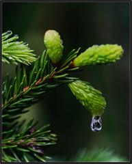 Fichtenwipferl (robert.pechmann) Tags: fichte baum wipferl regen robert pechmann makro macro wassertropfen green