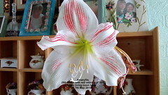 Amaryllis (5th White with red veining of 2019) on living room table 7th May 2019 (D@viD_2.011) Tags: amaryllis living room table 7th may 2019