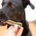 Man gives Greenies grain free dental treat for black Labrador retriever