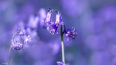 BlueBell - 6767 (✵ΨᗩSᗰIᘉᗴ HᗴᘉS✵62 000 000 THXS) Tags: bokeh bluebell jacinthe flora flower macro sony sonydscrx10m4 violet purple parme blue belgium europa aaa namuroise look photo friends be yasminehens interest eu fr party greatphotographers lanamuroise flickering
