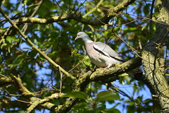 Howden (63) (rs1979) Tags: woodpigeon woodpigeons howden eastyorkshire yorkshire ashesplayingfields
