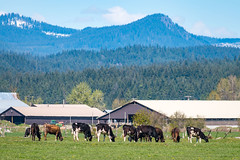 Cows and barn with Mt. Adams (Washington State Department of Agriculture) Tags: april klickitatcounty wsdagov washingtonstatedepartmentofagriculture agriculture barn cattle cow cows pasture spring sunny washington washingtonstate