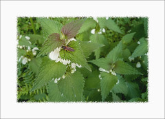Orties (Gérard Boisnard) Tags: nature plantes fleurs insectes