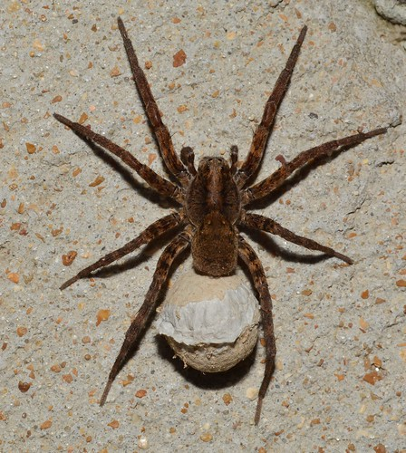 Other insects and things - emale Lycosidae (Wolf Spider) with big ol' egg sac (ID thanks to Cassie Novak)