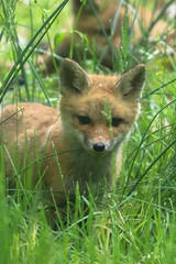This Can't Even Be Real (curious_spider) Tags: fox redfox foxkit foxpup foxcub babyfox adorable cute