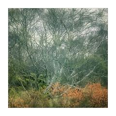 Torridon Trees (gerainte1) Tags: trees scotland torridon film provia100 hasselblad501