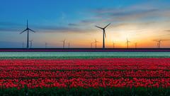 Tulips and wind power (alowlandr) Tags: espel flevoland netherlands flowers tulip tulipfield turbine windpower environment sky sun sunset dusk renewable energy landscape agriculture field nopeople red spring tulpenroute 2019 noordoostpolder tuliproute