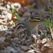 Eastern chipmunk foraging in leaf litter