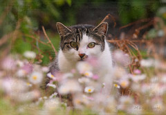 Cat and Daisies ... (MargoLuc) Tags: spring kitty enjoying daisies peaceful moments garden field sunlight may green eyes lovely cat bokeh