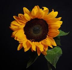 365 - Image 127 - I love a sunflower... (Gary Neville) Tags: 365 365images 6th365 photoaday 2019 sony sonycybershotrx100vi rx100vi vi garyneville