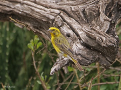 White-bellied Canary Crithagra d. dorsostriata (nik.borrow) Tags: bird canary finch ndutu