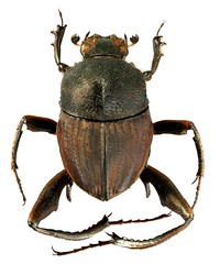 Neosisyphus sp. (dries.marais) Tags: coleoptera scarabaeidae scarabaeinae sisyphini neosisyphus beetle dungbeetle insect africa southafrica spiderdungbeetle