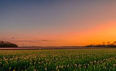 The soliloquy of a sunset. (Alex-de-Haas) Tags: 1635mm d500 dutch europa europe holland nederland nederlands netherlands nikkor nikkor1635mm nikon nikond500 noordholland agriculture akkerbouw beautiful beauty bloemen bloemenvelden boerenland bollenvelden bulbfields farmland farming flowerfields flowers landbouw landscape landscapephotography landschaft landschap landschapsfotografie lente lucht mooi polder pracht schoonheid skies sky spring sundown sunset tulip tulips tulp tulpen zonsondergang sintmaartensvlotbrug northholland