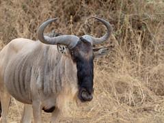 Wildebeest, Tarangire, Tanzania (Amdelsur) Tags: gnoubleu tanzanie taranguire continentsetpays afrique africa connochaetestaurinus gnouàqueuenoire gnu tz tza tanzania walipanda wildebeest régiondarusha