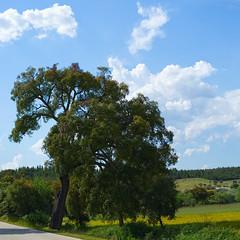 On the Templars route (road N346) (lebre.jaime) Tags: portugal beira templarsroute tree sky cloud nikon d600 voigtländer 58f14sliis nokton affinity affinityphoto digital ff fx fullframe squareformat