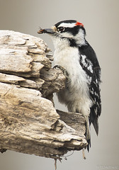 Male Downy Woodpecker with a juicy meal. (tlhatfield) Tags: downy woodpecker bird insect log nikon d500 300mm f40