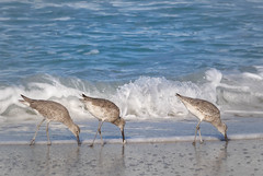 Willets (lablue100) Tags: willets willet birds legs water sea gulf waves food hungry eating beach nature landscapes action colors