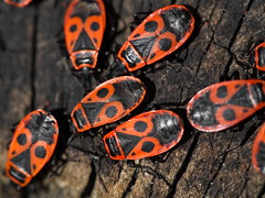 Boxelder red bugs spring days everywhere (ciddibirikiuc) Tags: animal boxelder bug eyes face insect mouth nose outdoor redbug redinsect shiny spring sunny voodoobug voodooinsect voodoomagic voodoomask wildlife macrophotography detail insectdetail park m43turkiye
