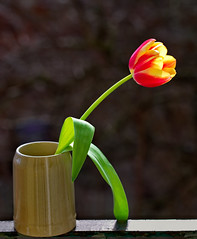 Fresh red and yellow single tulip stay in cup on the balcony (ciddibirikiuc) Tags: beautiful bright cup flower freshness gift isolated photosynthesis plant redandyellow redflower spring tulip valentineday fresh garden nobody botany petal leaf natural floral flora closeup beauty bloom background blossom color green nature m43turkiye