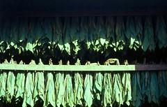 Chez cheroot  .  .  . (ericrstoner) Tags: tobacco pennsylvaniaseedleaftobacco ustype41 nicotianatabacum solanaceae ektachrome lancastercounty lancaster pennsylvania fumo barn pennsylvaniabankbarn bankbarn cigarfillertobacco tobaccoshed pennsylvaniabroadleaftobacco stogies nicotine
