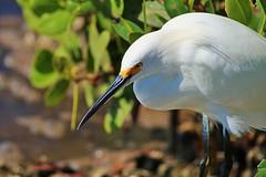 The Look (Michiale Schneider) Tags: snowyegret bird white water nature dingdarlingwildliferefuge sanibelisland florida michialeschneiderphotography